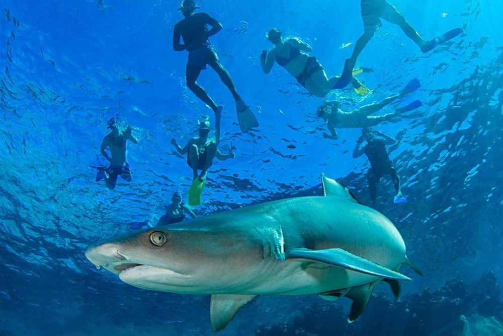 snorkelers swimming in Fiji ocean with gentle shark underneath