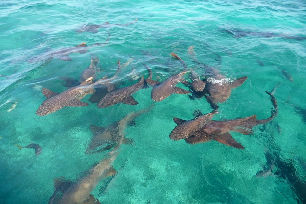 sharks swimming underwater in Shark Ray Alley in Belize