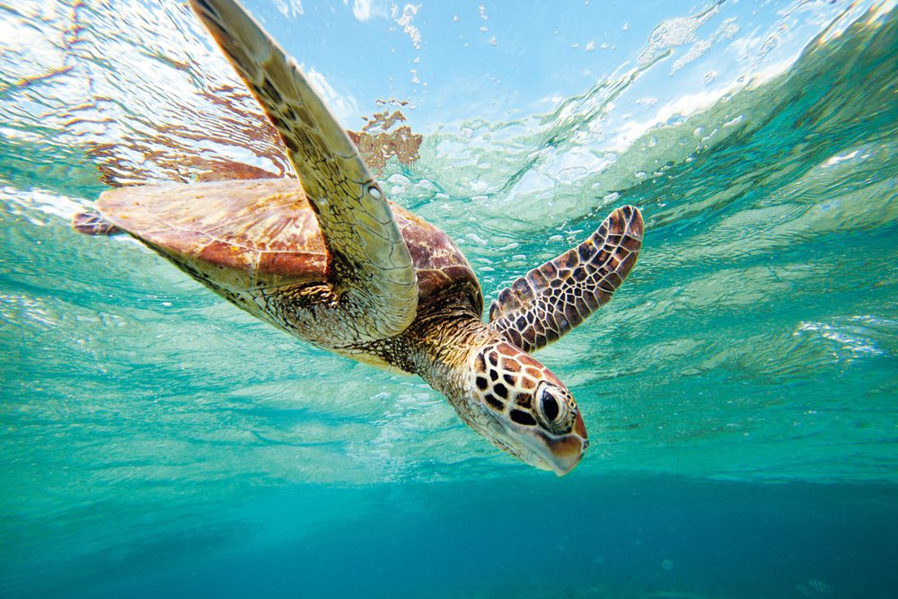 underwater photo of a Green Turtle swimming off the cost of Lady Elliot Island, Queensland Australia