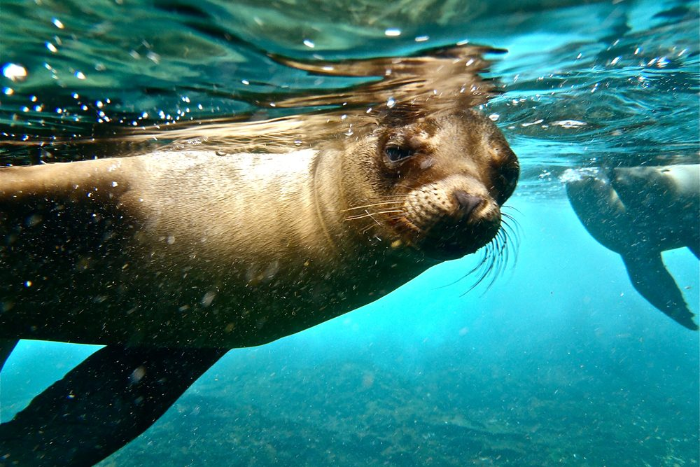 underwater photo of a sea lion in the Galapagos islands