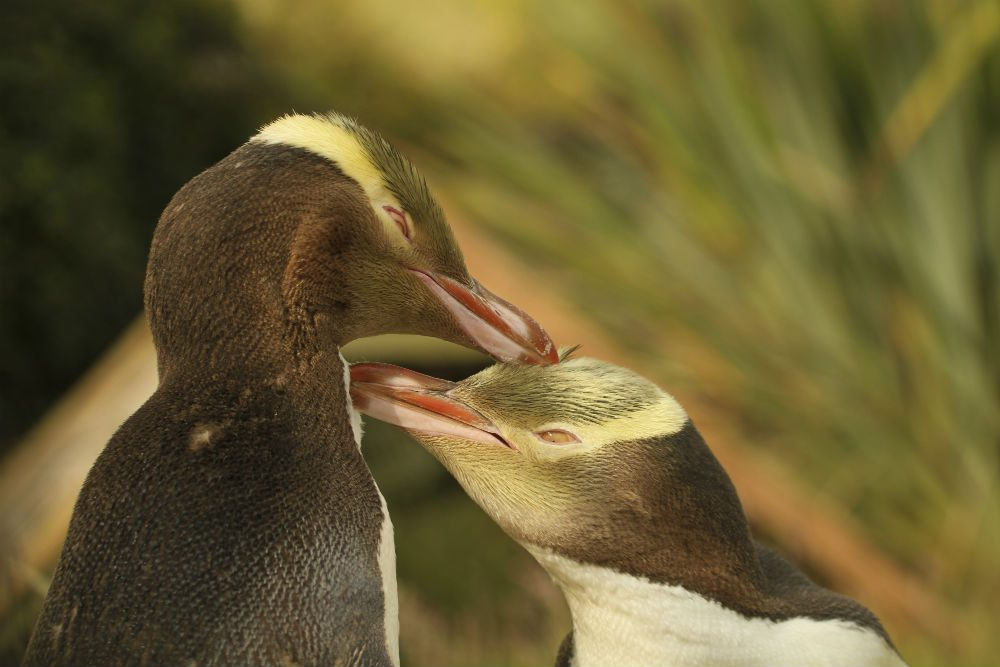 Unique to New Zealand, the yellow-eyed (hoiho) penguin is one of the world's rarest penguin species. Photo: New Zealand Tourism