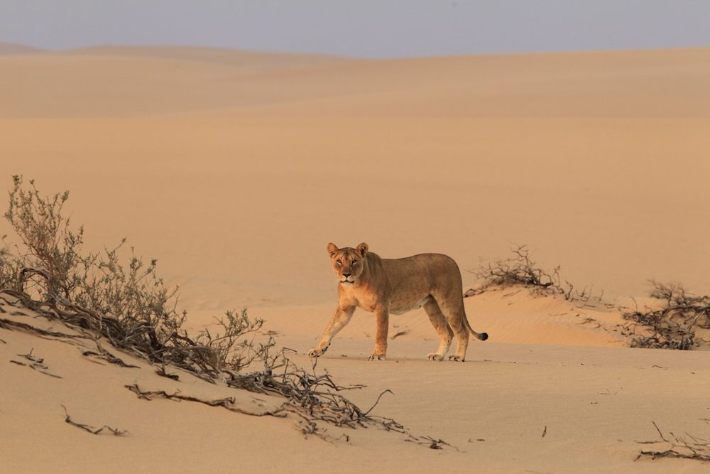 A desert lion crosses a sand dune in Namibia