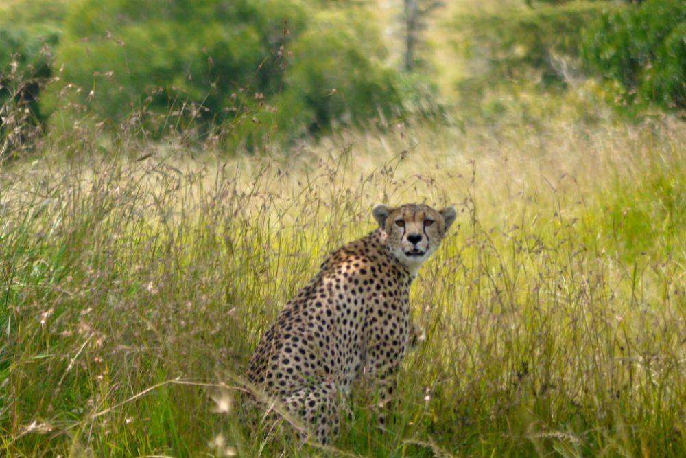 A cheetah in the high grass of Masai Mara, Keny