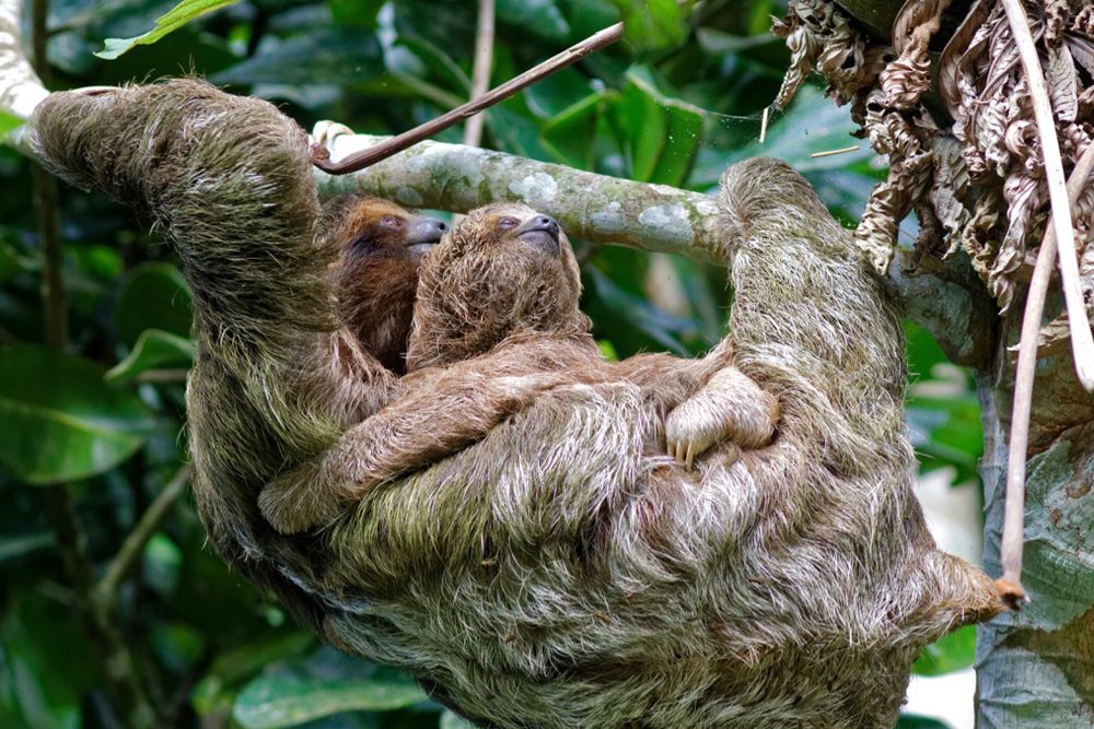 Sloth Mama, Costa Rica. Photo: William Grandados R. Photography