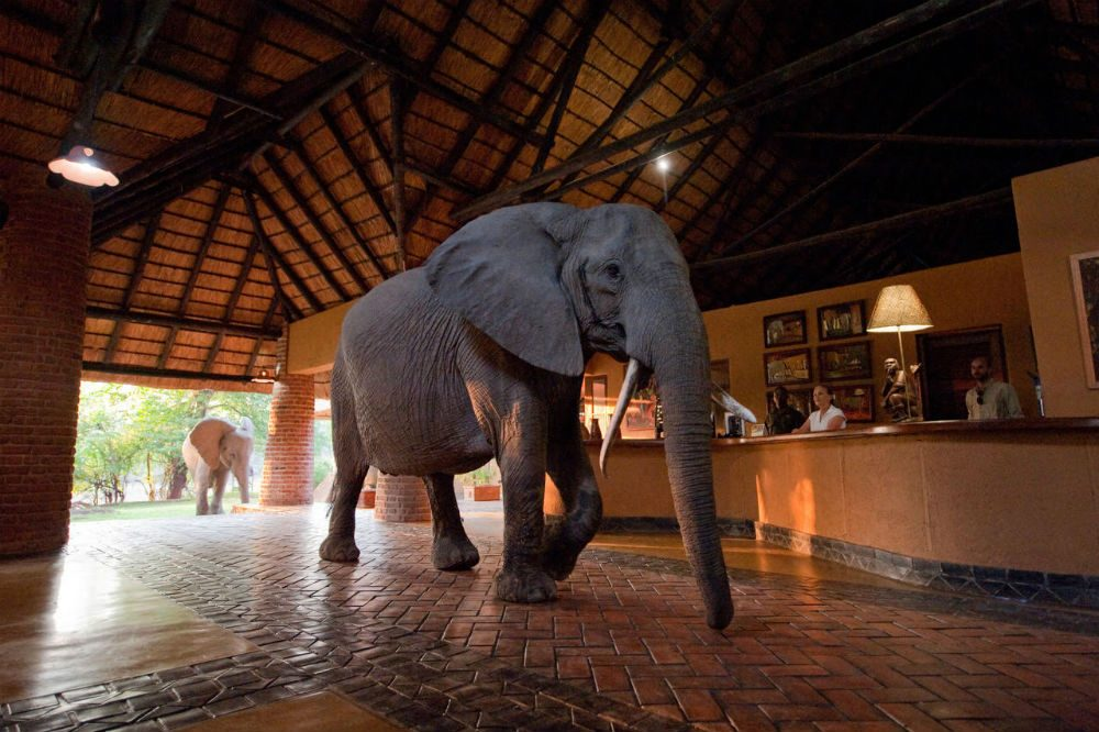 An elephant wanders through the lobby at Mfuwe Lodge, Zambia