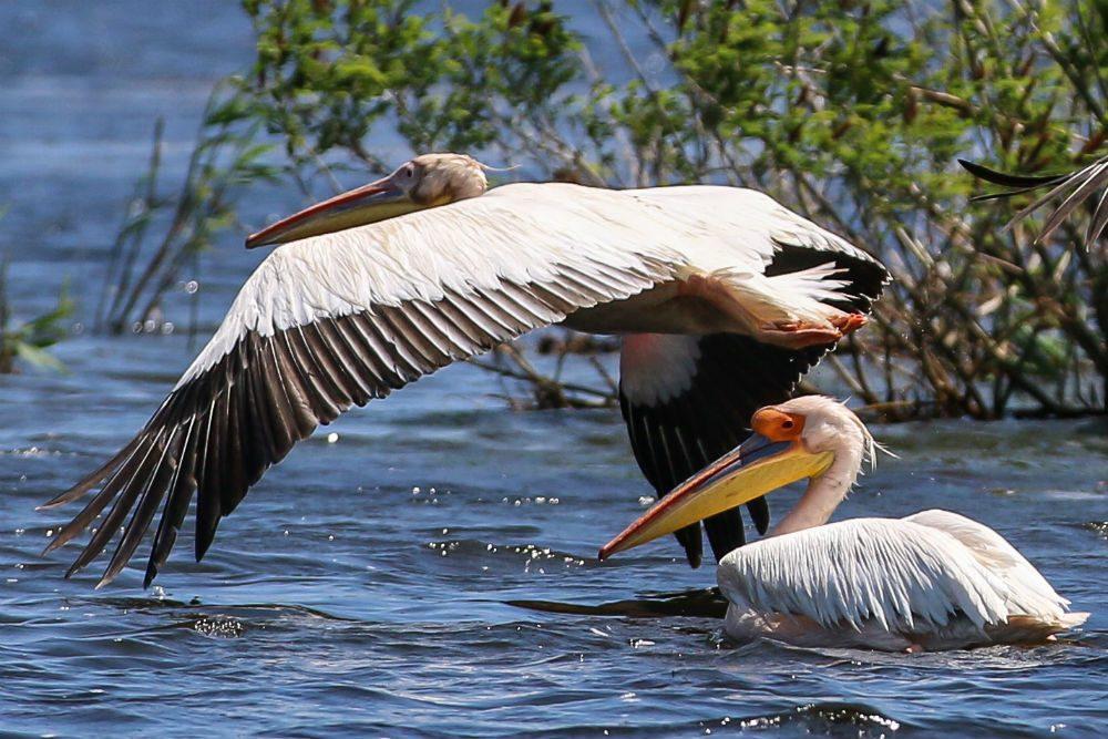 Pelicans in Romania's Danube Delta