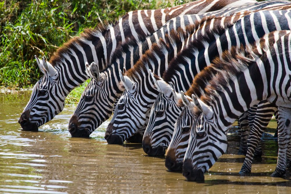 zebras drinking from a stream in the great migration of animals in Kenya