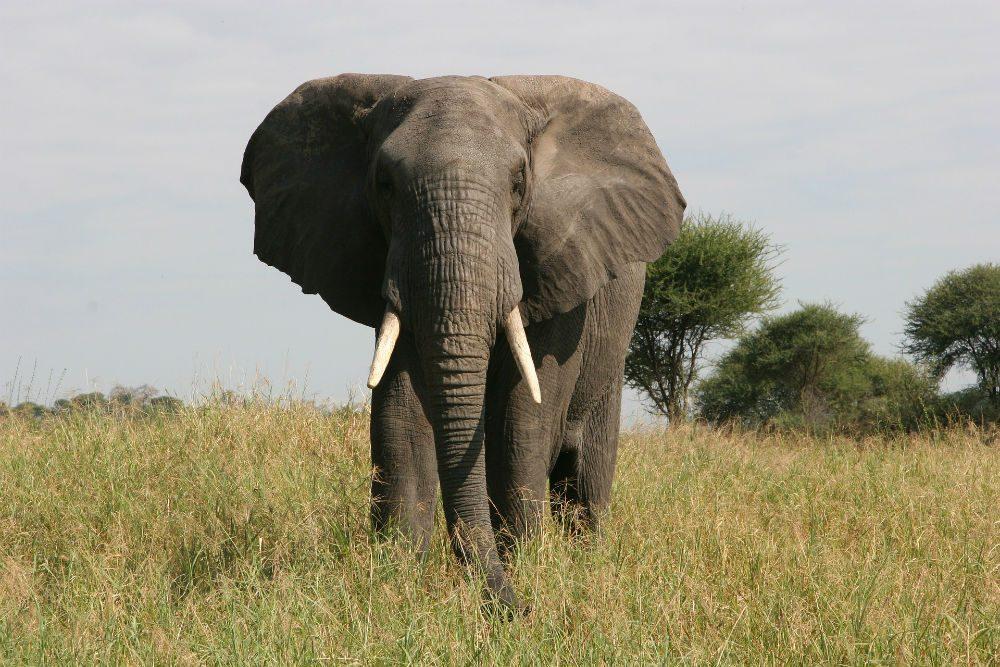 An elephant in Tarangire Tarangire National Park, Tanzania