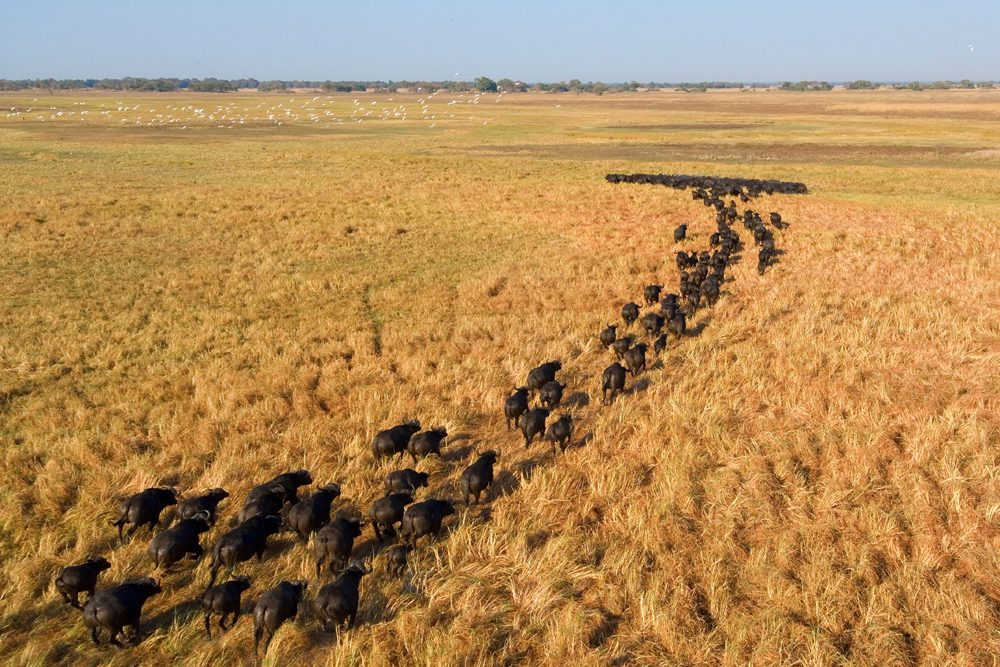 Buffalo crossing the Busanga Plains Zambia: Photo copyright: Dana Allen