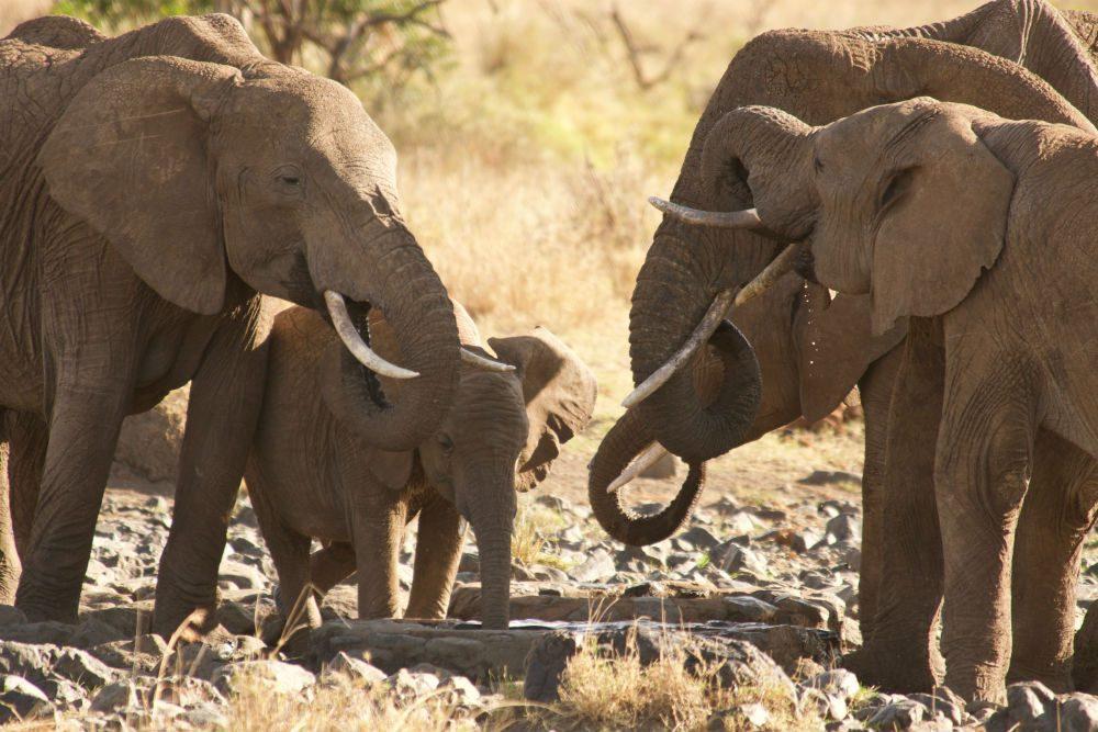 Elephants finding water in Kenya