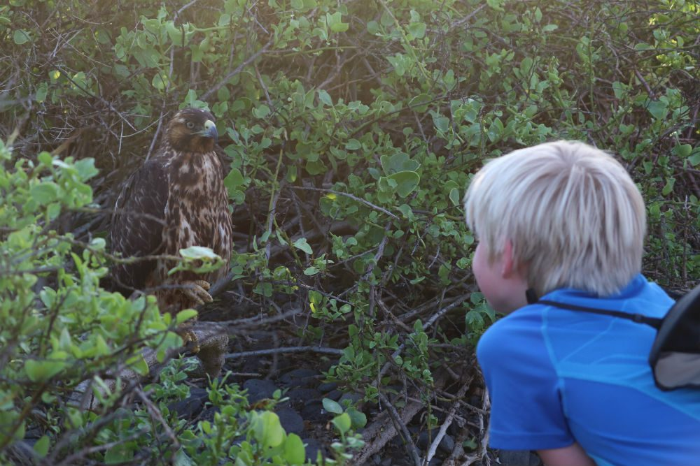 boy watches a Galapagos hawk on Espanola Island in the Galapagos Islands