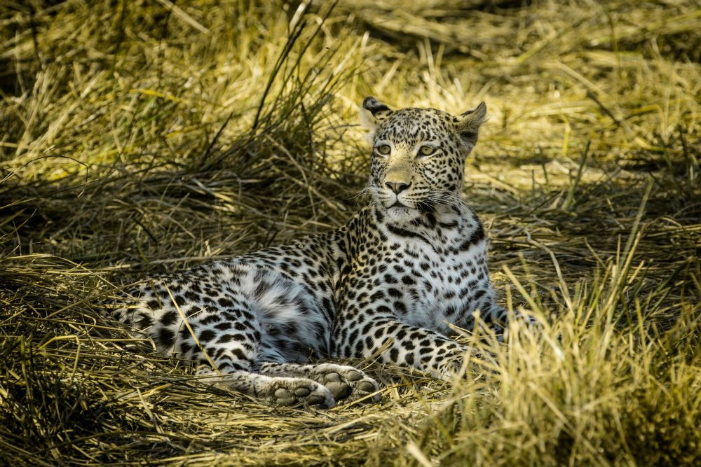A leopard sitting in the grass in Botswana