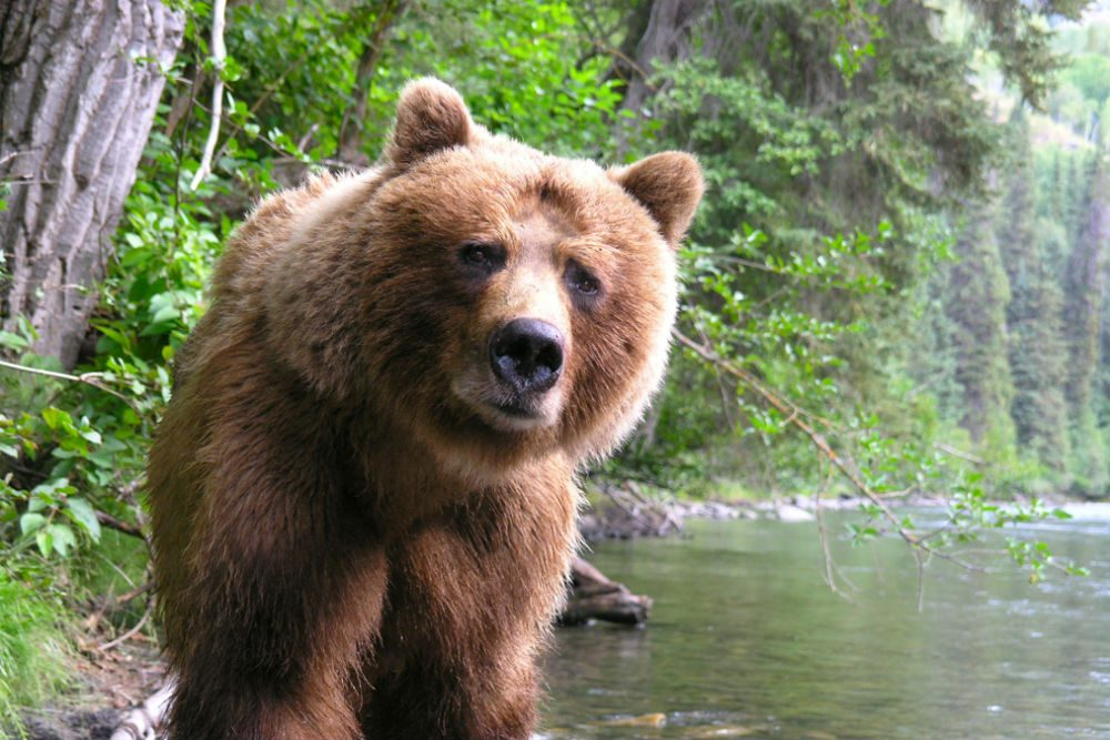 bear looking at camera on Nakina River in British Columbia canada