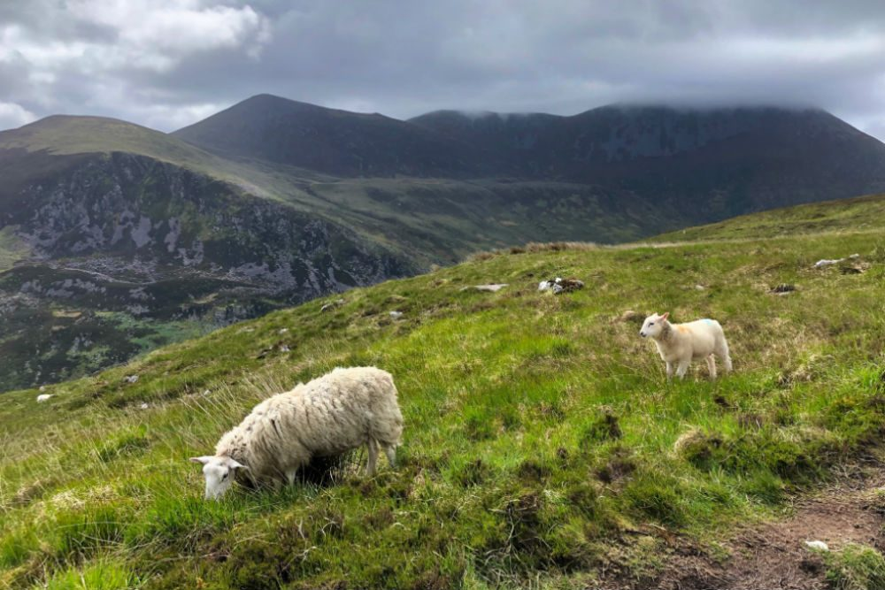 Sheep grazing in Killarney National Park Ireland.