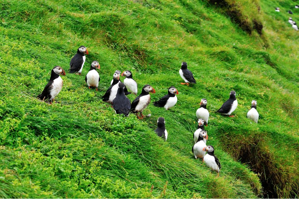 puffins on green hillside on Westmand Island Iceland