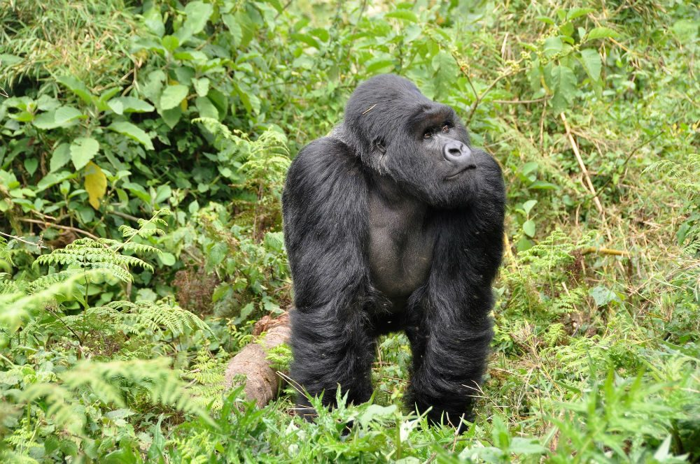 gorilla standing in the jungle in Rwanda