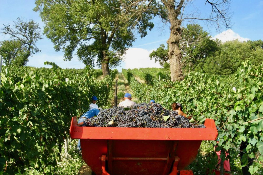 tractor harvesting grapes in a vineyard in Tuscany Italy