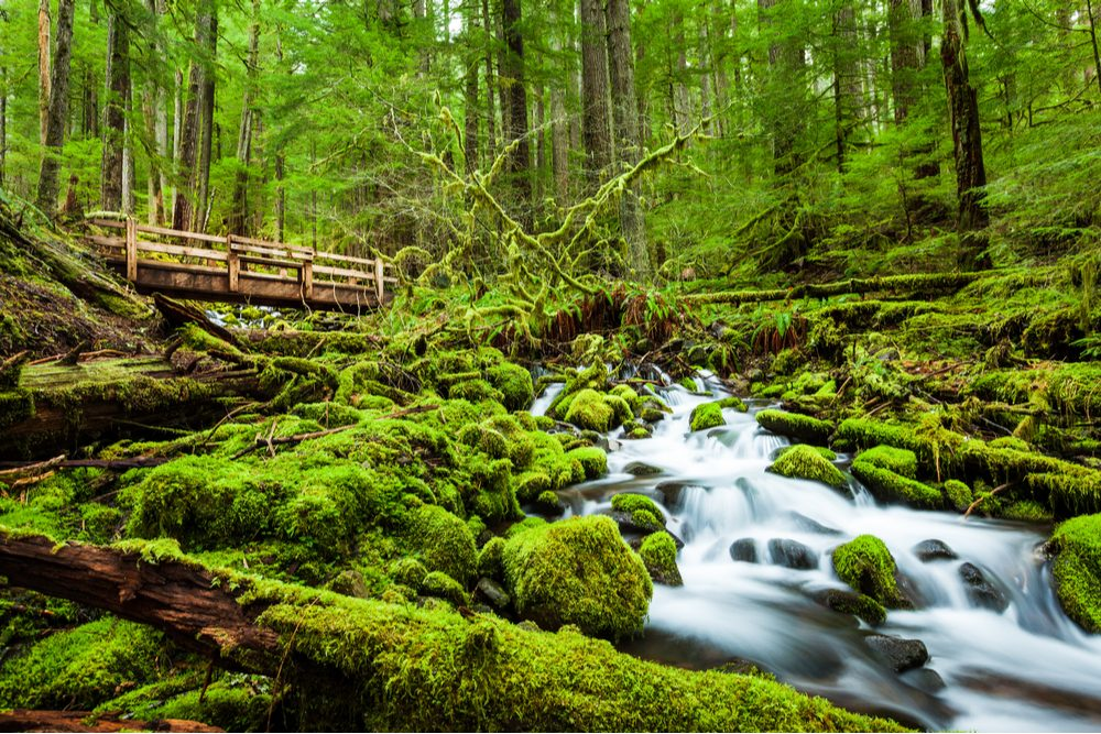small waterfall in a creek in a very green forest in Olympic National Park Washington State