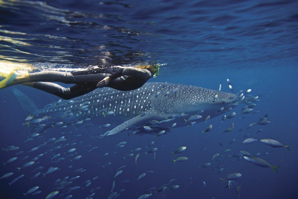 diver with whale shark Australia