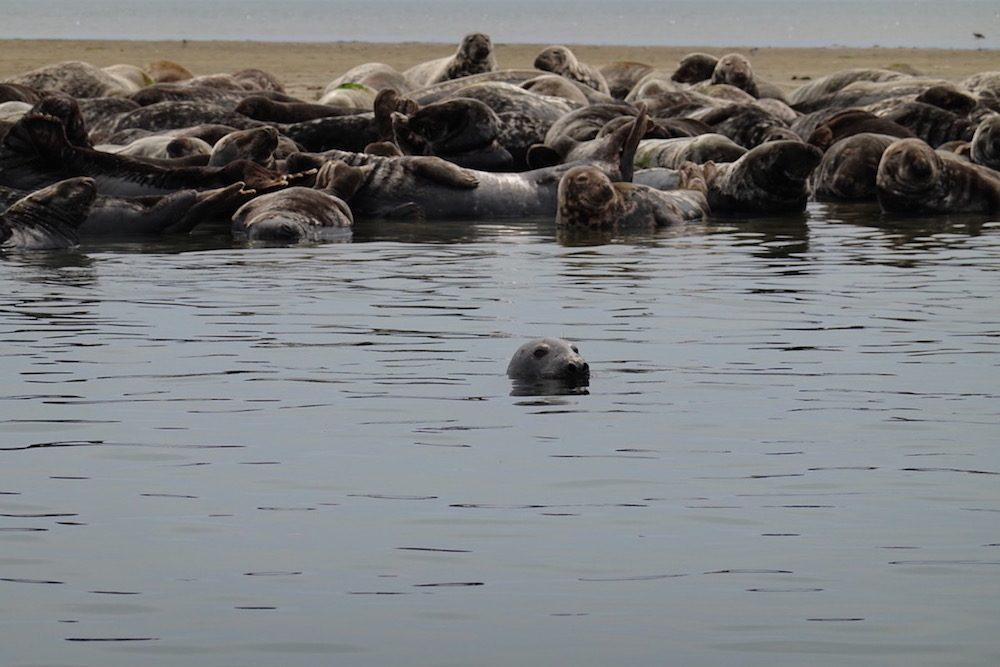 Seals in Chatham Harbour Massachusetts