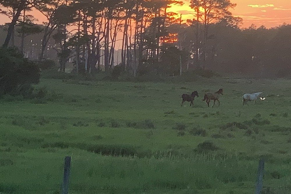 Chincoteague ponies at sunset in Virginia