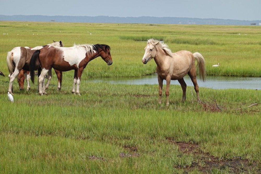 wild ponies in Chincoteague virginia