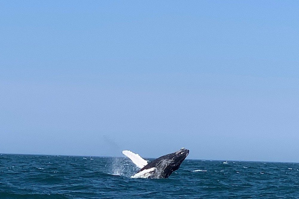 whale breaching ocean in Provincetown MA