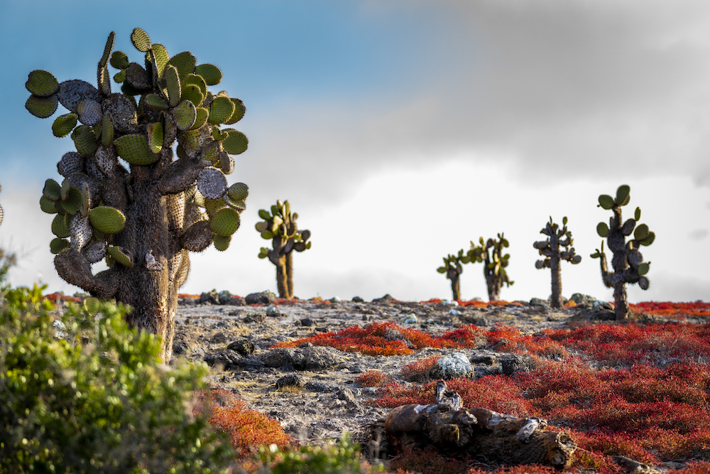 Galapagos cactus and landscape