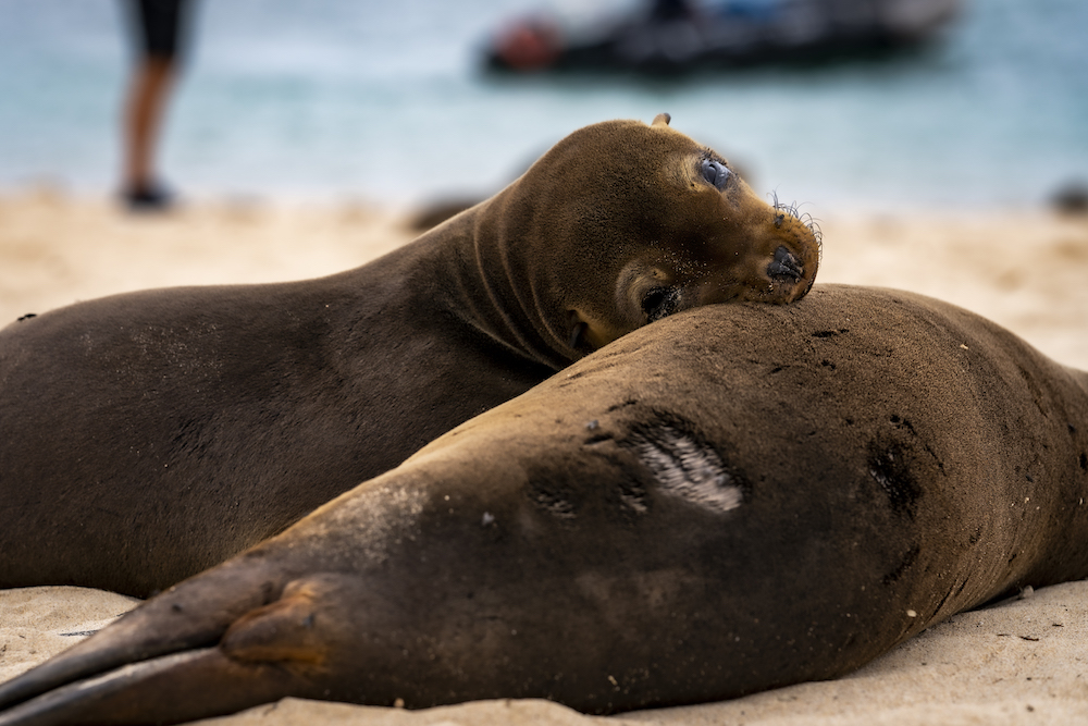 Galapagos sea lions cuddling