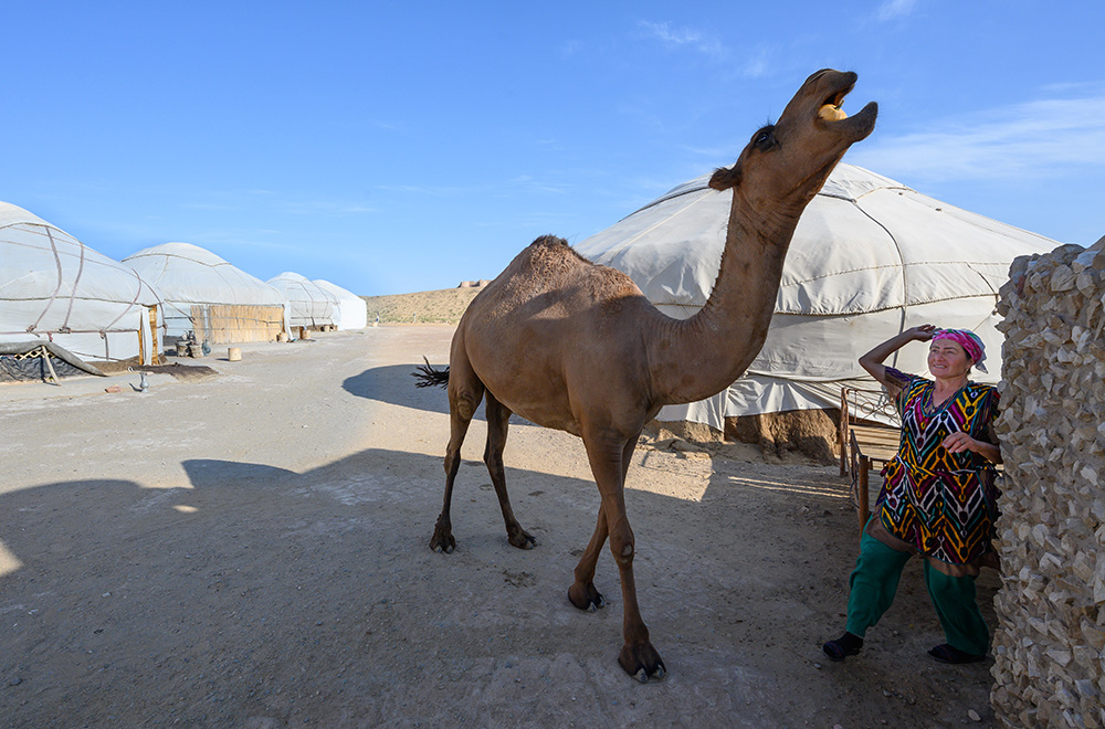 camel stealing a pumpkin at a yurt camp in Uzbekistan